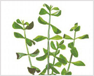 Bacopa Monniera Herb Extracts