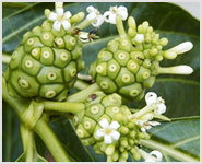 Morinda Citrifolia Herb Extracts